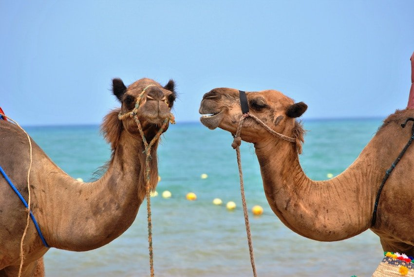 two camels hanging out