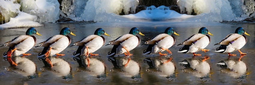 photo of ducks walking in a row