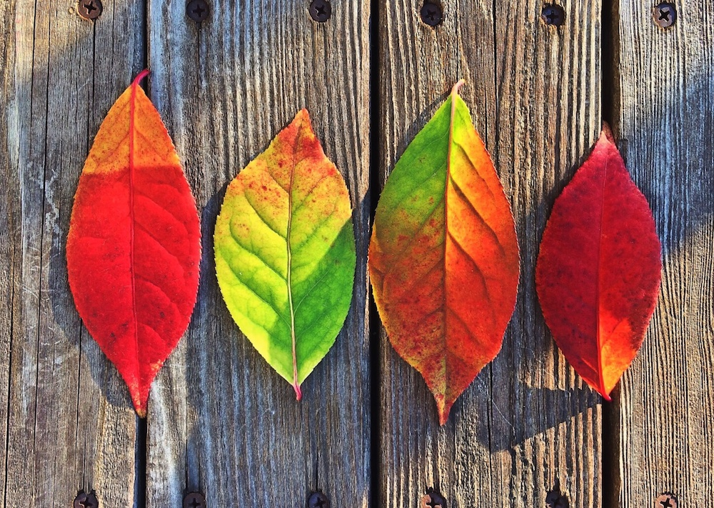 four leaves turning red laying on wood surface
